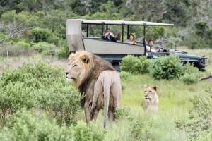 Αυτοί οι κυνηγοί ήταν έτοιμοι να σκοτώσουν ρινόκερους. Μόλις το αντιλήφθηκαν τα λιοντάρια δεν φαντάζεστε τι έγινε...