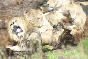 Ανατριχιαστικό: Η σπάνια στιγμή που λέαινες προσπαθούν να σκοτώσουν αρσενικό λιοντάρι!