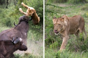 Επική μάχη: Βουβάλια εκτόξευσαν λιοντάρι στον αέρα σε ύψος 5 μέτρων! Λίγο μετά, συμβαίνει το απίθανο!