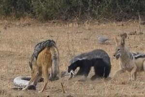 Ανατριχιαστική μάχη επιβίωσης: Aφρικανικός ασβός εναντίον πύθωνα και δύο τσακαλιών! (Video)