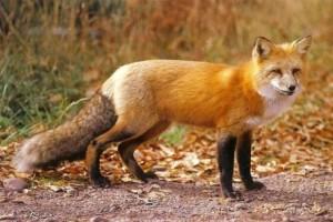Κτηνωδία στο Αγρίνιο: Κρέμασαν αλεπού!