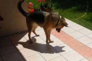 Σκύλος ανακάλυψε την σκιά του και «τρελάθηκε»! (Video)
