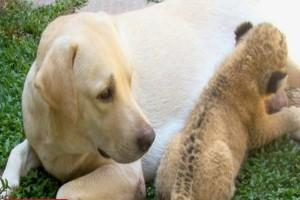 Αυτό το μικρό λιονταράκι μεγάλωσε στον ζωολογικό κήπο με μητέρα μια σκυλίτσα γιατί...Η ιστορία του ραγίζει καρδιές!