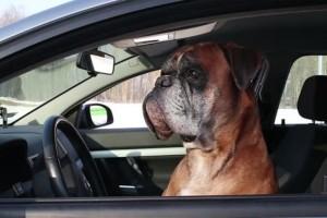 Αυτή η σκυλίτσα είναι επίμονη, βιαστική και ανυπόμονη. Δεν σταμάτησε να κορνάρει μέχρι να επιστρέψει ο ιδιοκτήτης της!