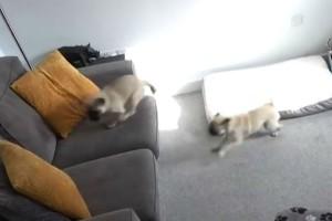 Τοποθέτησε κρυφή κάμερα για να καταγράψει τα σκυλιά. Όταν είδε τι έκαναν δάκρυσε από τα γέλια!