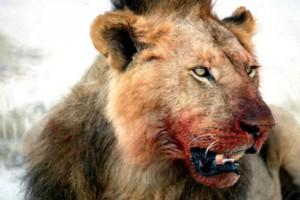Αγέλη λιονταριών κατασπάραξε τρεις κυνηγούς. Πάγωσαν όλοι με αυτό που είδαν μετά...