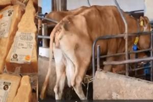 Τραγικές συνθήκες διαβίωσης αγελάδων για να φτάσει η παρμεζάνα στα...μακαρόνια μας!