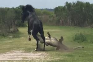 Άλογο επιτίθεται σε αλιγάτορα και προκαλεί πανικό...Αυτό που κατέγραψε η κάμερα θα σας τρομάξει!