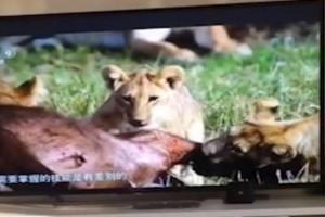 Η τηλεόραση δείχνει ένα λιοντάρι να κατασπαράζει ένα άλλο ζώο! Δευτερόλεπτα μετά βλέπουμε και το... απίστευτο!