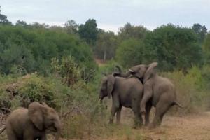Ελέφαντας πάει να ζευγαρώσει με την ελεφαντίνα όταν του συμβαίνει κάτι...που κανένας άνθρωπος δεν θα ήθελε!