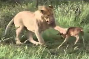 Λιοντάρι προσπαθεί να σκοτώσει ένα μοσχαράκι. Αυτό που γίνεται στη συνέχεια ξεπερνά κάθε λογική!