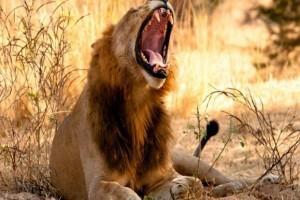 Σοκ: Λιοντάρι σκότωσε 10χρονη στην αυλή του σπιτιού της - Μόλις δείτε τη συνέχεια θα ανατριχιάσετε!