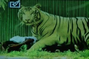 Λευκή τίγρης άρπαξε από το λαιμό 20χρονο και τον κατασπάραξε...Η αντίδραση των ανθρώπων γύρω σοκάρει!