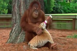 Αυτός ο ουρακοτάγκος είναι ικανός να κάνει babysitting σε μωρό τίγρη! Το βίντεο θα σας εκπλήξει!