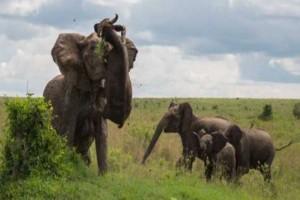 Βούβαλος επιτίθεται σε μικρό ελεφαντάκι. Δείτε την οργισμένη αντίδραση της μαμάς του!