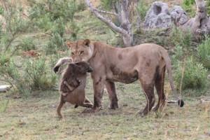 Θηλυκό λιοντάρι σκοτώνει μπαμπουίνο και ανακαλύπτει το μωρό του. Το τι ακολούθησε μετά είναι απίστευτο!