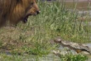 Λιοντάρι ουρλιάζει σε κροκόδειλο - Αυτό που έγινε στη συνέχεια θα σας αφήσει άφωνους