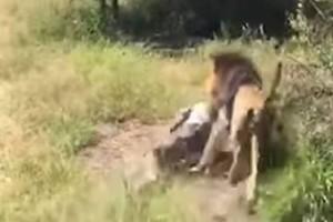 Πήγαν στο πάρκο να θαυμάσουν το λιοντάρι! Δευτερόλεπτα αργότερα έγινε ο χειρότερος εφιάλτης τους!
