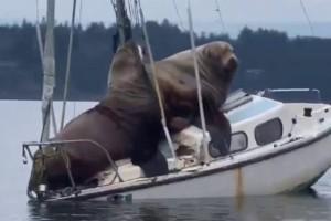 Απίστευτες εικόνες από σπάνια θαλάσσια λιοντάρια να ανεβαίνουν πάνω σε σκάφος