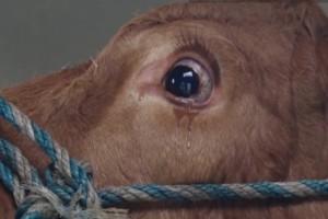 Αυτή η αγελάδα δεν μπορούσε να κρατήσει τα δάκρυά της...Ο λόγος; Σπαράζει καρδιές