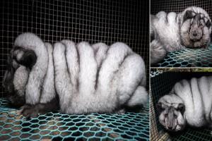 """Αλεπούδες μεταλλάσσονται σε """"τέρατα"""" για να τους πάρουν την γούνα για παλτό...Οι εικόνες είναι εξοργιστικές!"""