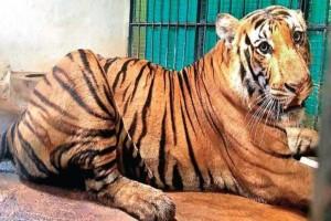 Τίγρης δολοφόνος εντοπίστηκε και μένει αιχμάλωτη σε κέντρο διάσωσης...Αυτό που έκανε σοκάρει!