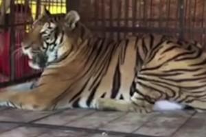 Φυλακισμένο λιοντάρι ζούσε σε αυτό το κλουβί. Ωστόσο μια ημέρα έγινε το απίστευτο - Θα λυγίσετε!
