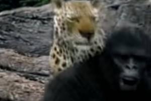 Μάχη γιγάντων: Λεοπάρδαλη εναντίον γορίλα! Το βίντεο που κόβει την ανάσα!
