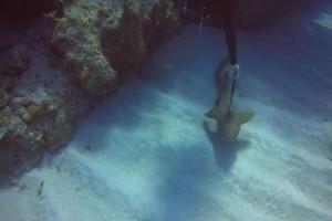 Καρχαρίας με μαχαίρι καρφωμένο στο σώμα του ζητά «βοήθεια» από δύτη!