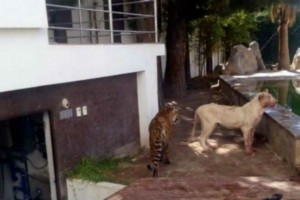 Κλέφτες μπήκαν στο σπίτι - Μόλις τους είδε το λιοντάρι ξεκίνησε ο εφιάλτης τους