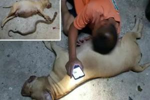 Ηρωική έγκυος σκυλίτσα πιτ μπουλ σκότωσε κόμπρα και πέθανε για να σώσει... (Video)
