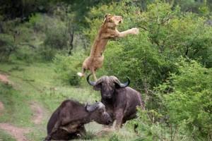 Ανατριχιαστική μονομαχία: Ταύροι εναντίον λιονταριού - Το αποτέλεσμα σοκάρει