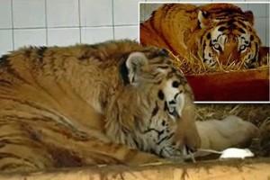 Έδωσαν σε αυτή την τίγρη να φάει ένα ποντίκι... Αυτό που ακολούθησε όμως δεν θα το πιστεύετε!