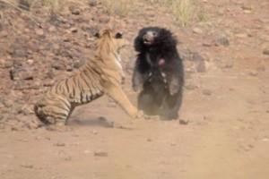 Επική μάχη: Τίγρης εναντίον αρκούδας! Ποιος κερδίζει;