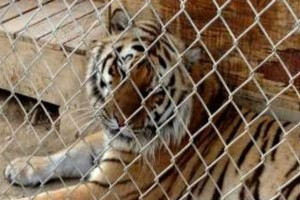 Αδιανόητο: Αυτή η τίγρης έκλεισε ένα φύλακα στο κλουβί της. Αυτό που ακολούθησε θα σας κόψει την ανάσα!