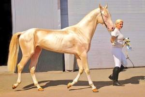 Το σπάνιο άλογο που είναι καλυμμένο από χρυσάφι - Το θαύμα της φύσης