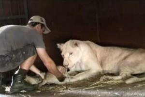 35χρονος άνδρας προσπαθεί να αρπάξει  ένα λιονταράκι - Αυτό που κάνει η μαμά λέαινα θα σας κόψει την ανάσα