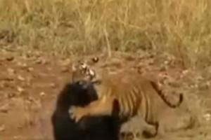 Κόβει την ανάσα: Τίγρης μετάνιωσε πικρά για την επίθεση που έκανε σε αρκούδα!