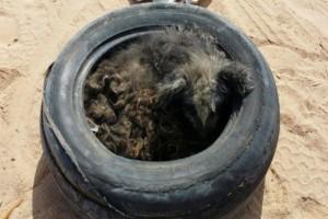 Βρήκαν έναν σκύλο μέσα σε λάστιχα και δεν πίστευαν ότι θα ζήσει - Η εικόνα του σήμερα μας αφήνει άφωνους