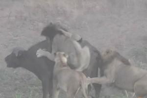 4 λιοντάρια ορμάνε σε ένα βουβάλι – Μη βιαστείτε να πείτε ποιος νίκησε