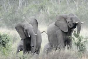 Αυτοί οι ελέφαντες τρέχουν πανικόβλητοι μέσα στο δάσος - Μόλις δείτε το λόγο δεν θα πιστεύετε στα μάτια σας!