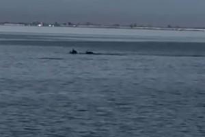 Η καραντίνα έβγαλε... δελφίνια στον Θερμαϊκό (video)