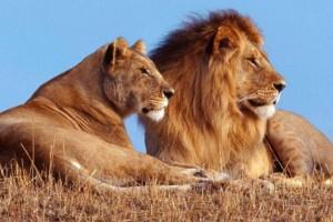 57 λιοντάρια βρίσκονται σε κλουβί μαζί με 1 πρόβατο - Πώς θα επιβιώσει; Λύστε τον γρίφο