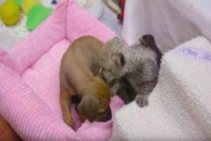 Θα λιώσετε: Πώς ένα σκυλάκι και ένα τιγράκι έγιναν αδερφάκια