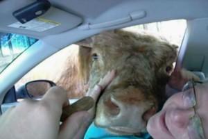 Αυτό το ζευγάρι έτρωγε μέσα στο αυτοκίνητο όταν ξαφνικά τους πλησίασε μια αγελάδα - Αυτό που ακολούθησε θα σας αφήσει με το στόμα ανοιχτό!