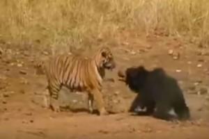 """Τιτανομαχία: Μια τίγρης επιτίθεται σε μια αρκούδα - Η συνέχεια θα σας κάνει να """"παγώσετε"""""""