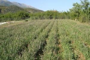 Αυτό είναι το φυτό - βότανο της αθανασίας: Υπάρχει παντού στην Ελλάδα