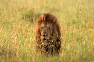2 λιοντάρια μονομαχούν για την αρχηγία της αγέλης: Η μάχη που κόβει την ανάσα