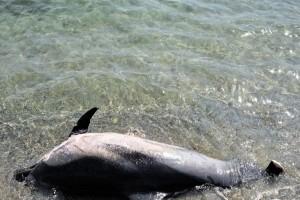 Αποτρόπαιο θέαμα: Δολοφόνησαν θηλαστικά και έκοψαν με μαχαίρι τα πτερύγια δελφινιών