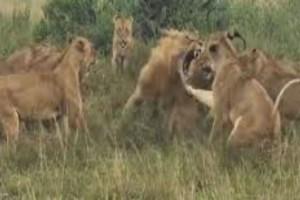 """Αυτό το λιοντάρι δέχεται επίθεση από 8 λέαινες - Αυτό που ακολούθησε θα σας κάνει να """"παγώσετε"""""""